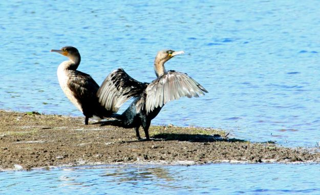 Cormorants sunning themselves