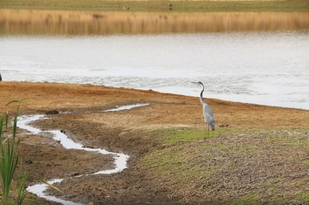 Black-headed Heron at the Elandshoek dam