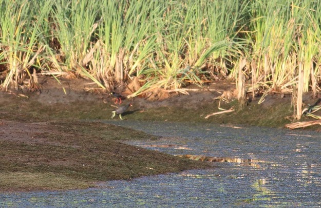 Black Crake and Common Moorhen