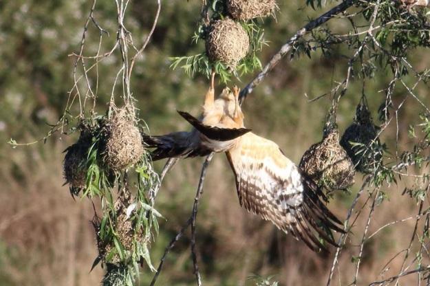 African Harrier-Hawk (Gymnogene)