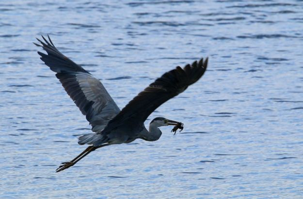 Grey Heron taking off with frog