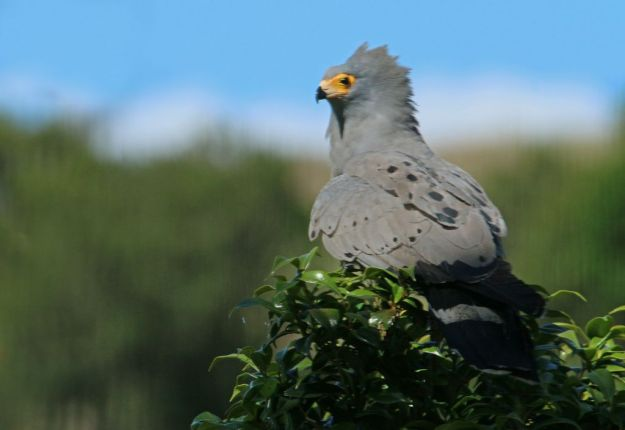 African Harrier-Hawk (Gymnogene)