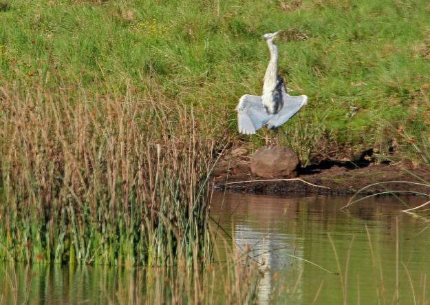 Grey Heron sunning itself