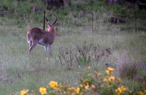 Male Common Reedbuck grazing in our garden one evening