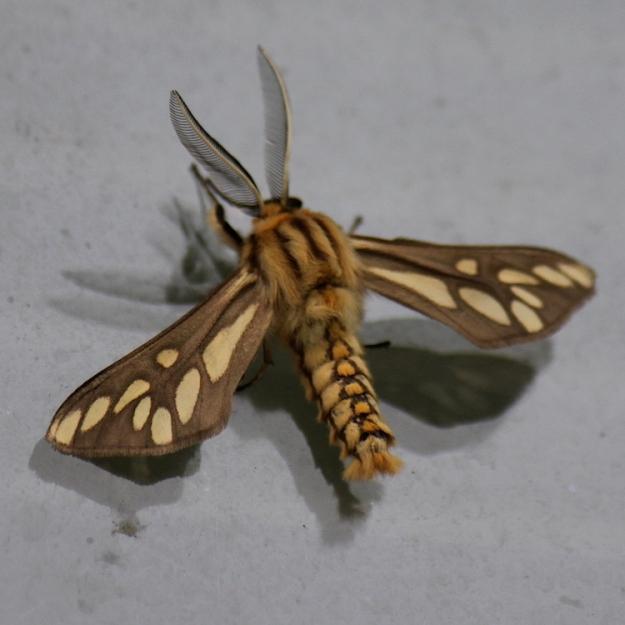 African Maiden Moth, Family Thyretidae