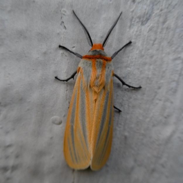 02 Moth P1050945