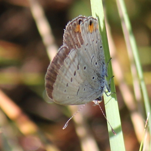 Common Meadow Blue, Cupidopsis cissus cissus