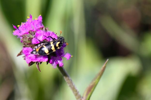 Blister beetle on Cyanotis speciosa