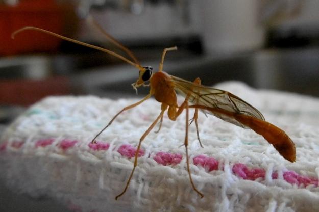 Wasp of Enicospilus genus