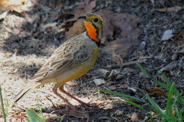 04 Bird Cape Longclaw IMG_4493