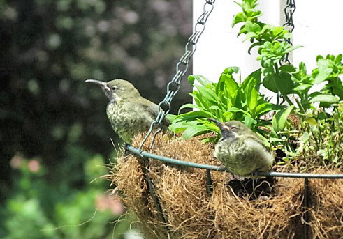 2 juvenile Amethyst Sunbirds leaving the nest for the first time