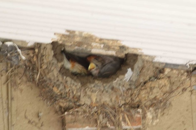 Surviving chick of Greater Striped Swallow