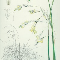 Threatened Plant Species - Dierama pallidum