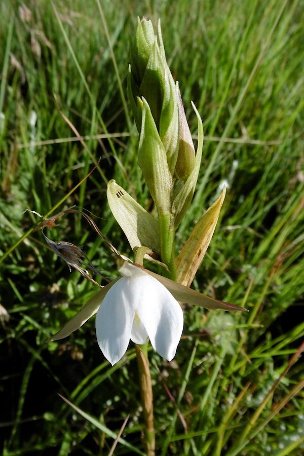 Orchid Eulophia ovalis