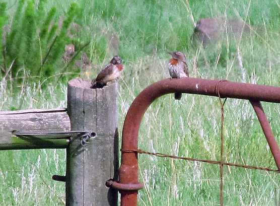 Juvenile and adult Red-throated Wryneck