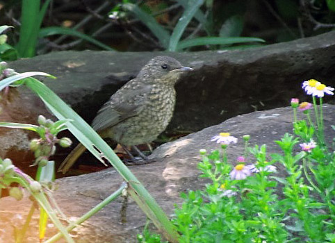 Juvenile Cape Robin-Chat