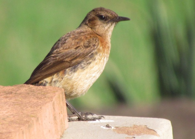 Juvenile male Buff-streaked Chat