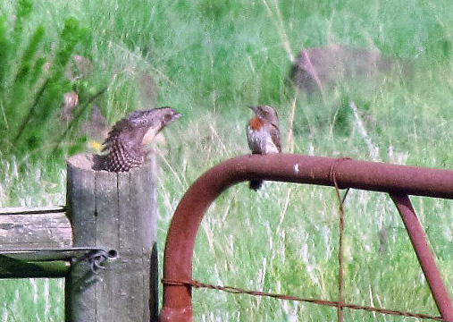 Juvenile Red-throated Wryneck testing his wings before flying off with mom