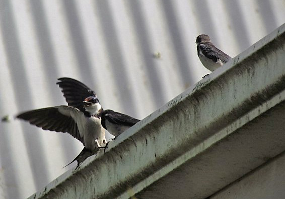 Mommy swallow flying in to feed the 2 young that had just left the nest
