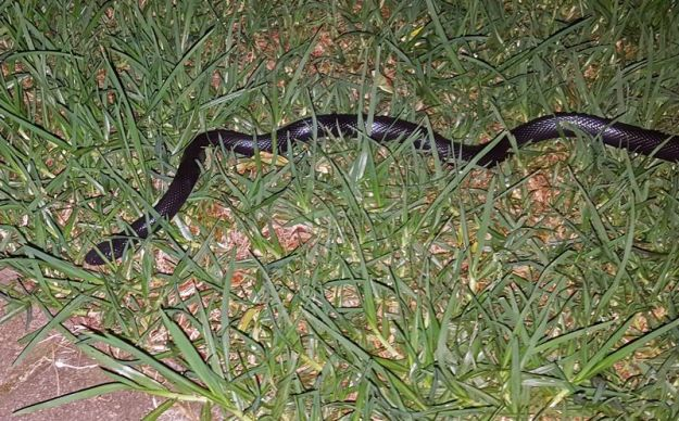 Natal black snake...1