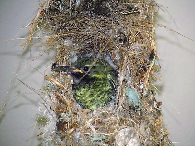 Only room for one sunbird at a time to stick its head out of nest