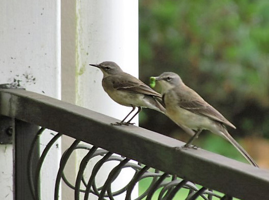 Pair of Cape Wagtails feeding their young