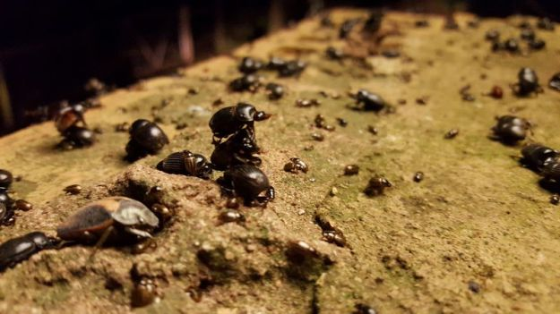 Thousands of small black beetles drawn to the security lights
