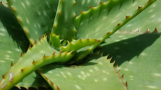 Water collecting in wild aloe leaves