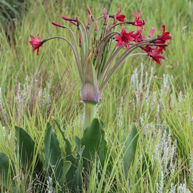 Brunsvigia undulata