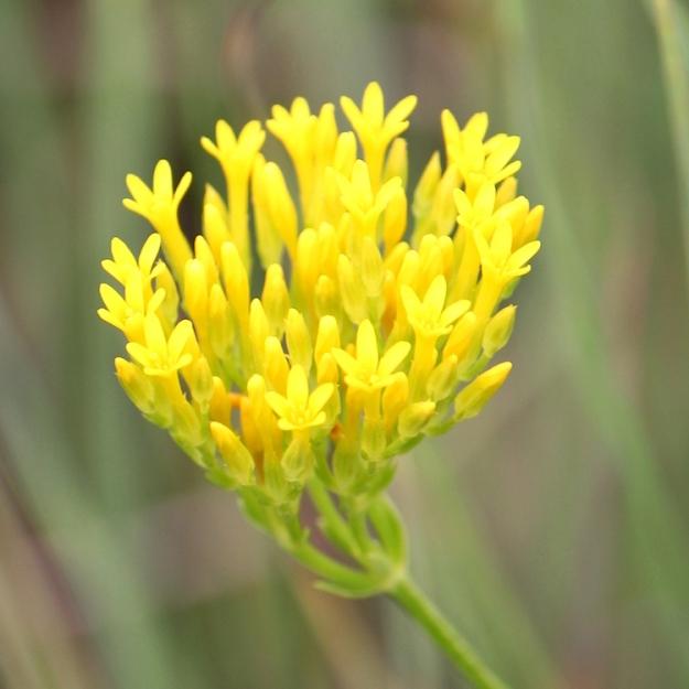 Sebaea natalensis