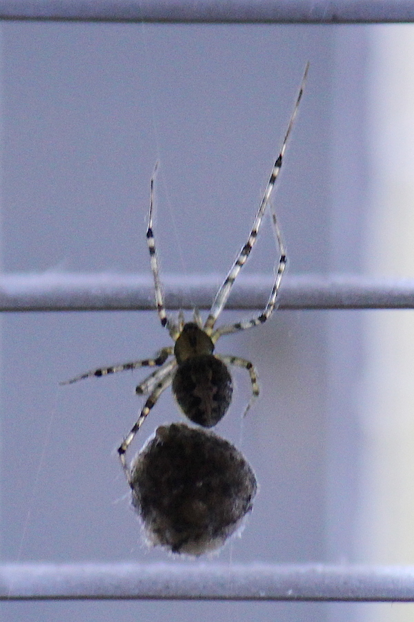 False button spider