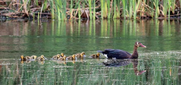 Spur-winged Goose family