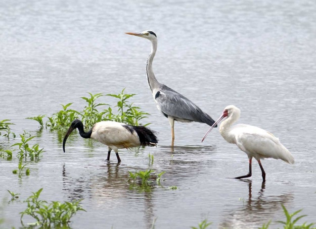 African Sacred Ibis, Grey Heron and African Spoonbill