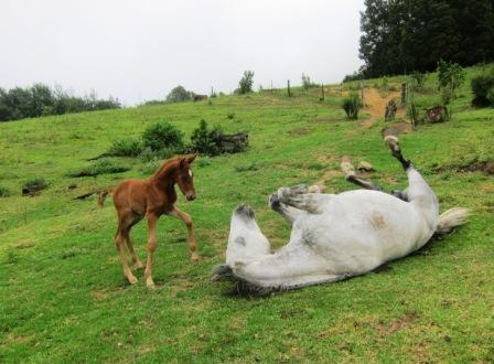 Foal Dusty investigating his mother having a roll