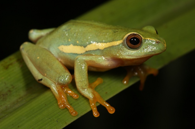 Yellow-striped Reed Frog 1 - Nick Evans
