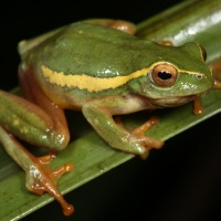 Beautiful Reed Frogs of the KZN Midlands