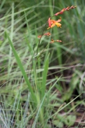 Crocosmia masonorum (Golden Swans)
