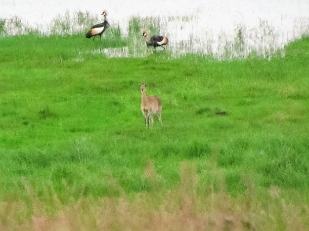 A pair of crowned crane and female reedbuck