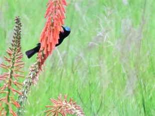 Amethyst sunbird (male) feeding on giant pokers