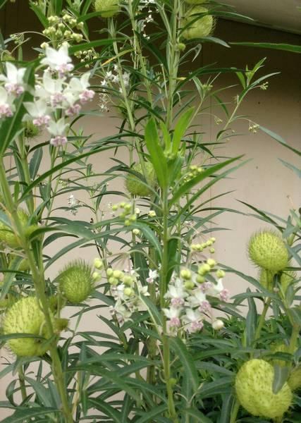 Balloon milkweed, hairy balls - Ghomphocarpus physocarpus