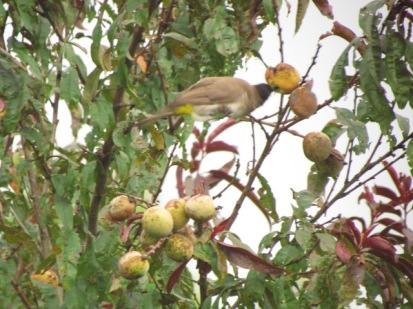 Black eyed bulbul eating peaches