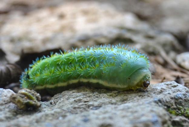 Caterpillar 2