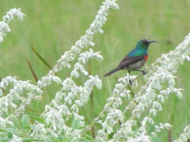 Double-collared Sunbird