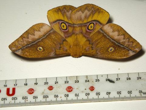 Emperor Moth (Aurivillius fuscus)