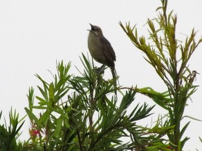 Grassbird singing