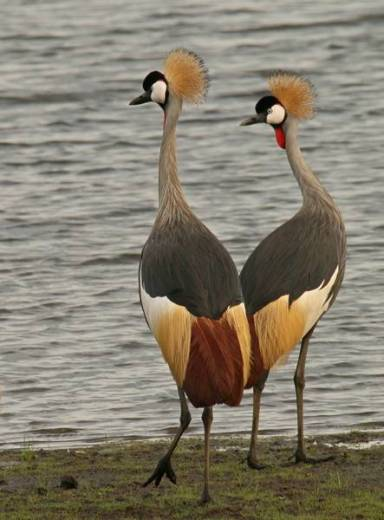 Grey crowned crane 1