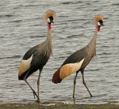 Grey crowned crane 3