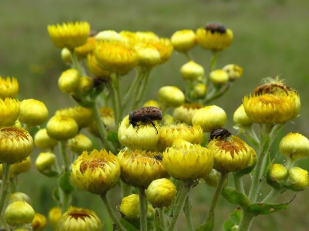Helichrysum setosa