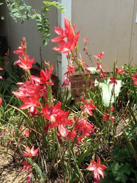 Hesperantha coccinea, Scarlet River Lily