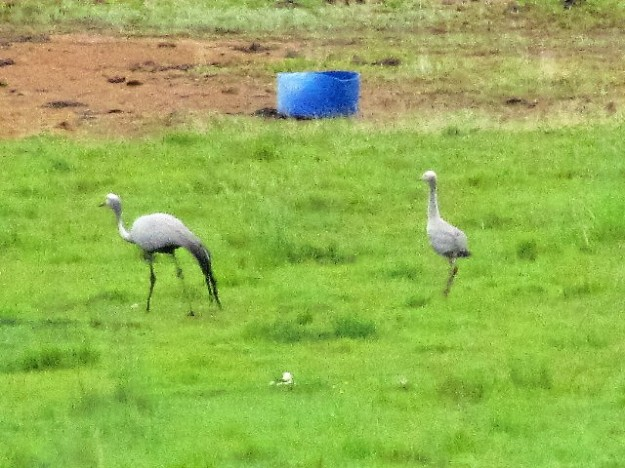 Mama Blue Crane with her Juvenile